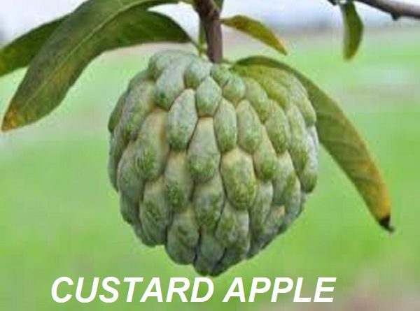 Custard Apple Picture
