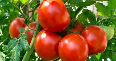 Fresh Tomato Nutrition