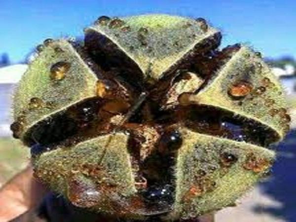 Goron tula for fertility