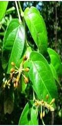 Nutrition and Difference between Okazi, Utazi, & Uziza Leaves