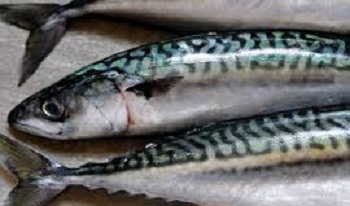 Mackerel Family (Scombridae)