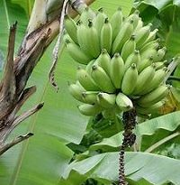 Amazing Health Benefits of Unripe Plantain