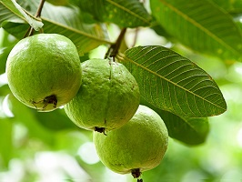 Guava Leaves Recipes