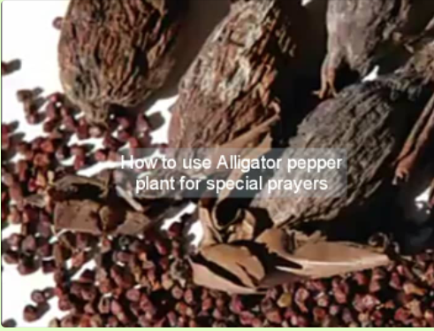 How to use Alligator Pepper Plant