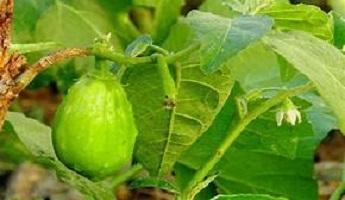 Garden Egg Leaves Nutritional Values