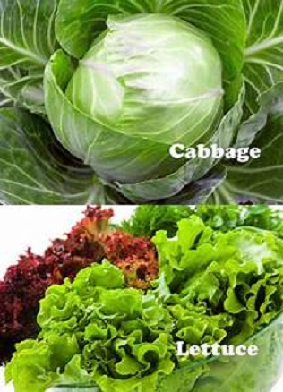 Cabbage vs Lettuce Any Difference
