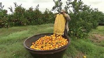 Orange Farming Business in Nigeria