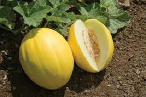 Important Facts About Golden Melon