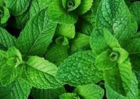 scent leaf for Fertility Image